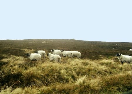 Swaledale sheep on the North York Moors